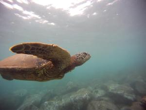 Honu, wise and wonderful